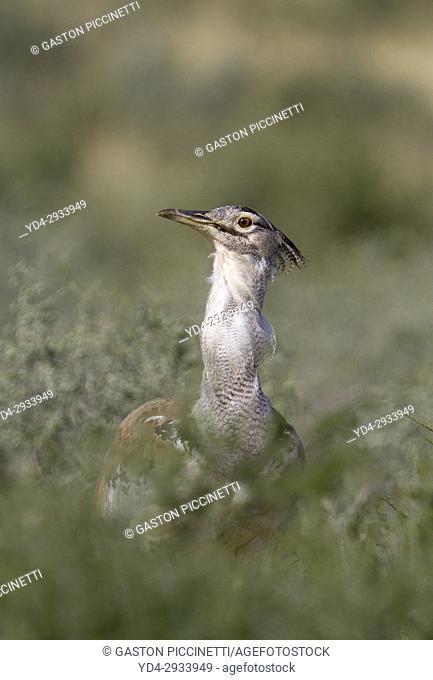 Kori bustard (Ardeotis kori), Kgalagadi Transfrontier Park, Kalahari desert, South Africa/Botswana
