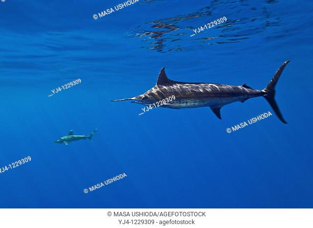 free-swimming Pacific blue marlin, Pantropical blue marlin, Makaira nigricans, or Indo-Pacific blue marlin, Makaira mazara - still debating