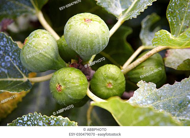 Figs in the tree with out of focus green background. Horizontal