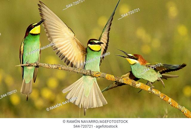European Bee Eaters (Merops apiaster). Andalusia. Spain