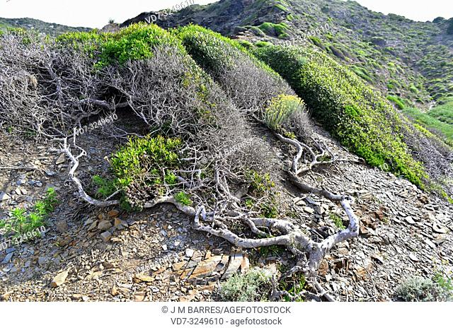 Green olive tree (Phillyrea latifolia) is an evergreen shrub native to Mediterranean Basin. Wind modeled specimens. This photo was taken in Cala Ferragut