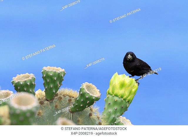 Large Cactus Finch, Geospiza conirostris, San Cristobal Island, Galapagos Islands, Ecuador