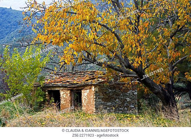 Derelict stone shack beneath autumnal cherry tree on Pelion Peninsula, Thessaly, Greece