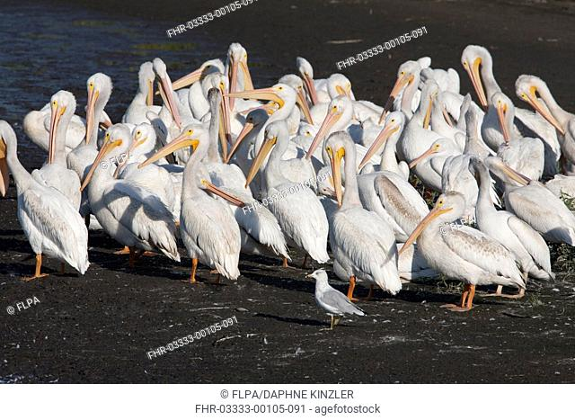 American White Pelican (Pelecanus erythrorhynchos) adults, non-breeding plumage, and juveniles, with Ring-billed Gull (Larus delawarensis) adult