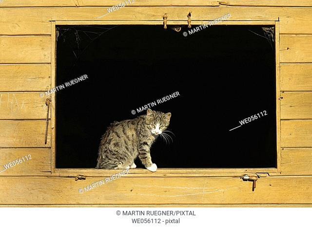 Domestic cat in window of a cowshed. Bavaria, Germany, Europe