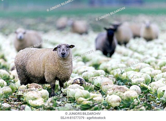 Domestic Sheep. Sheeps eating cabbage on a not harvested cabbage field. Germany