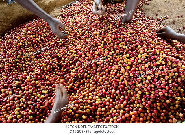 coffee production in Kenya
