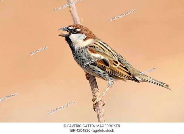 Spanish Sparrow (Passer hispaniolensis), adult male singing on a branch, Santiago, Cape Verde