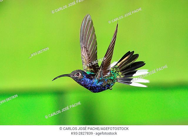 Campylopterus hemileucurus, Colibri alas de sable violáceo en la reserva biologica de monteverde, costa rica