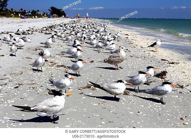 Seashells and royal terns on the beach at Sanibel Island, Florida, USA