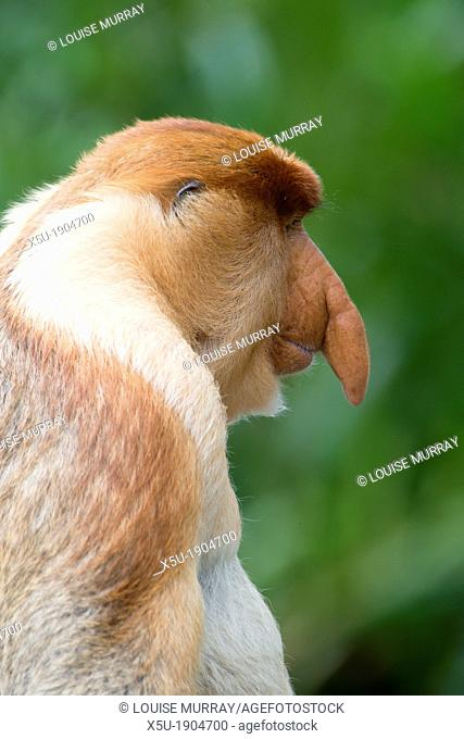 Male proboscis monkey has a pendulous nose that covers the mouth, said to be sexually attractive to females possibly because it enhances vocalisations  Like any...