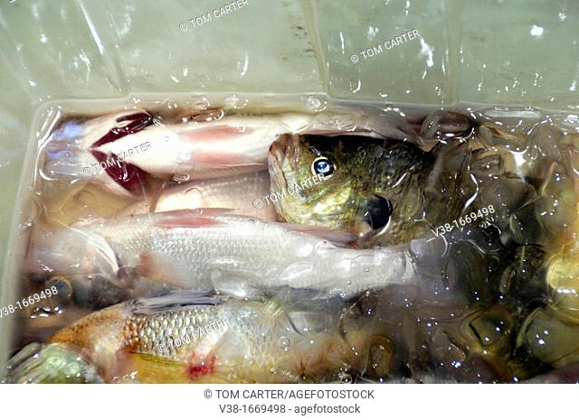 a live fish rest in ice with his dead fellow fish