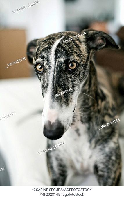 Rescued spanish greyhound happy in his new forever home. Every year, at the end of the hunting season, 50,000 spanish greyhounds are abused in Spain