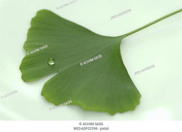 Ginkgo biloba with water drop