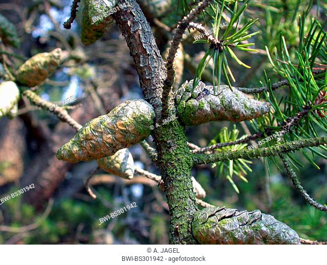 gray pine, jack pine (Pinus banksiana), cones on a branch