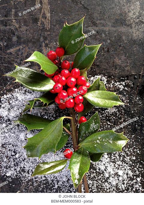 Close up of holly berries and snow