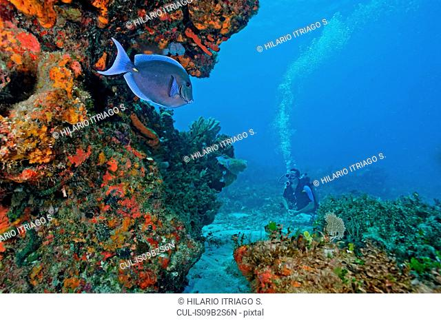 Scuba diver and blue tang fish (acanthurus coeruleos) by coral reef, Cancun, Quintana Roo. Mexico