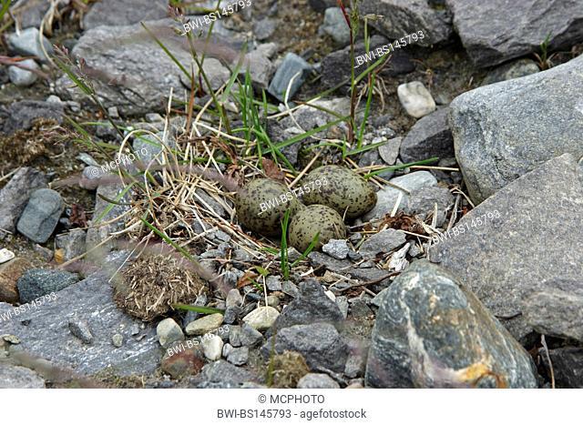 black-legged kittiwake (Rissa tridactyla, Larus tridactyla), eggs on the beach, Norway