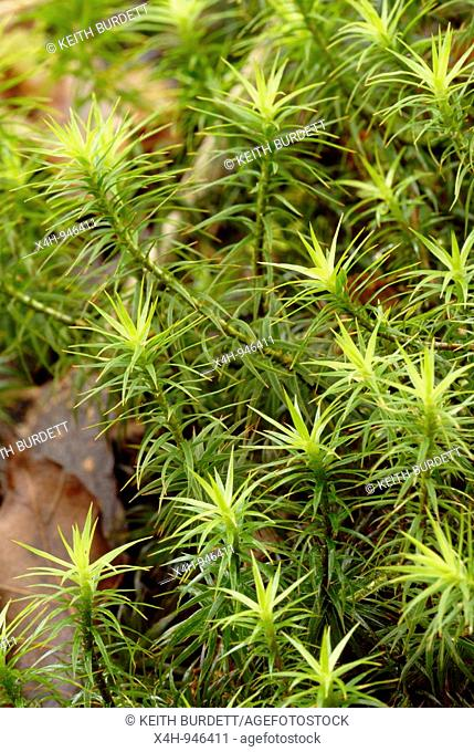Moss, Polytrichum commune, Wales