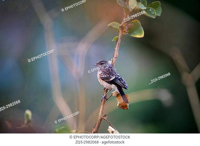 Bushchat sp. , Ghatgarh, Uttrakhad, India