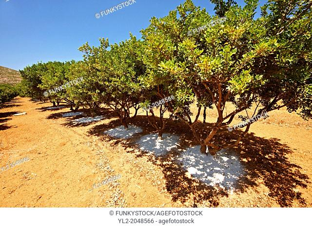 Mastic Trees being prepared for the mastic harvest by having fresh white earth spreads under the tress to catch falling mastic resin from cuts in the trees bark