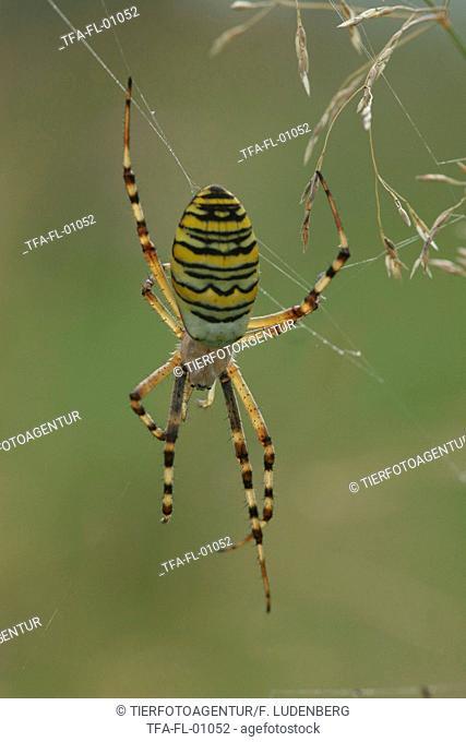 wasps spider