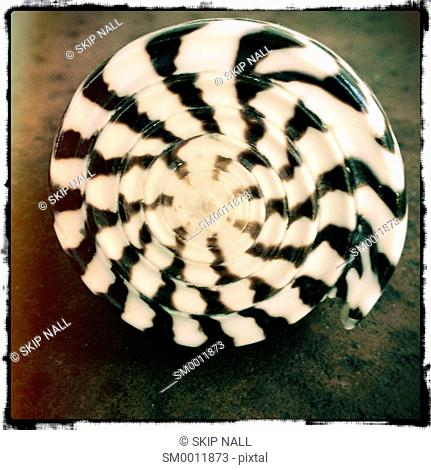 A black and white striped seashell