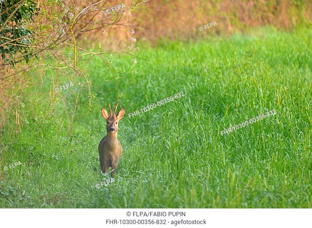 Western Roe Deer (Capreolus capreolus) buck, standing in field at dawn, Italy, March