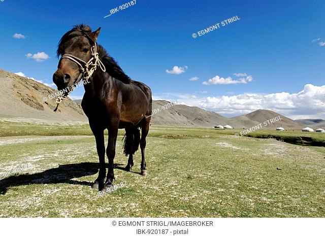 Horse in the Mongolian Steppe, Altai, Mongolia, Asia