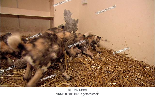 TS WS African Hunting Dog Puppies eating dead rabbit / Port Lympne Wild Animal Park and Gardens, Hythe, Kent, UK