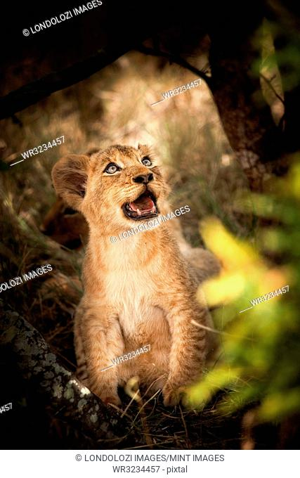 A lion cub, Panthera leo, sits down, looks away, open mouth