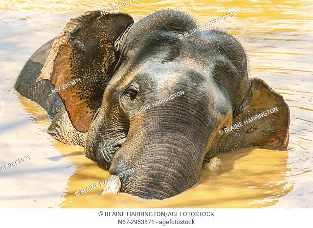 Tusked elephant taking a bath, Yala National Park, Southern Province, Sri Lanka