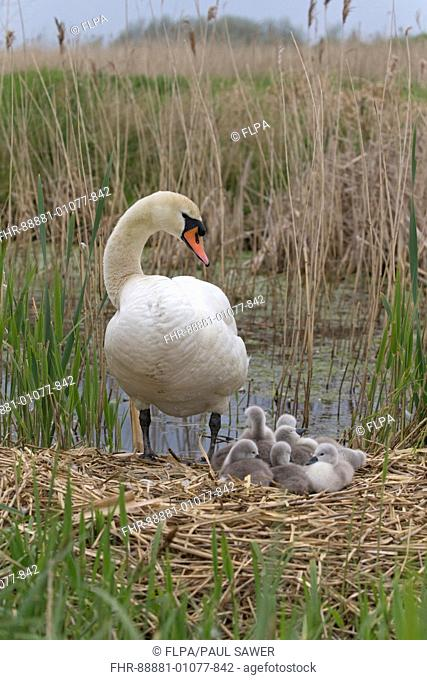 Mute Swan (Cygnus olor) adult female and cygnets, standing on nest, Suffolk, England, UK, May