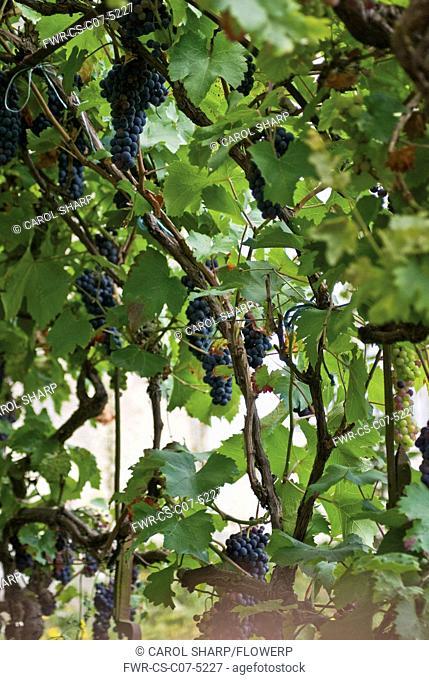 Grapevine, Vitis vinifera