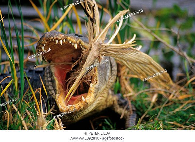 American Alligator eating Great Blue Heron prey, Everglades, Florida . sequence 2/4