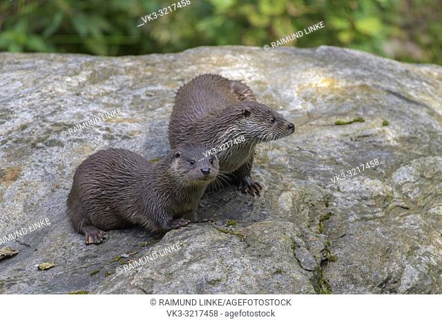 Otter, lutra lutra, female with cub, Germany, Europe