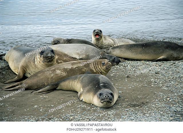 Female Southern elephant seals Mirounga leonina resting on beach, South Georgia