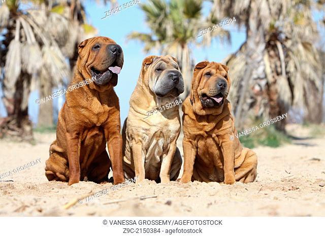Dog Shar Pei / three adults sitting on the beach