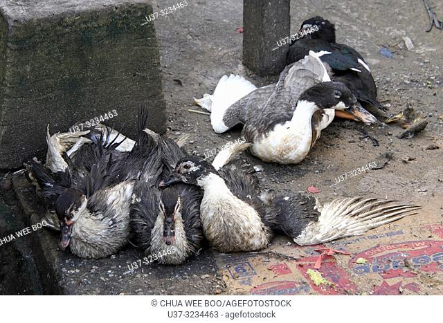 Live ducks for sale at Pemangkat market, West Kalimantan, Indonesia
