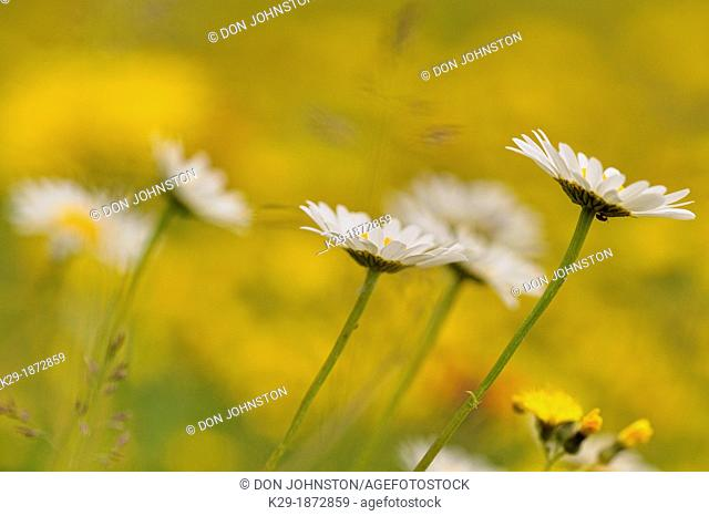 Oxeye daisy Chrysanthemum leucanthemum Blooming in a meadow with yellow hawkweed, Wanup, Ontario, Canada
