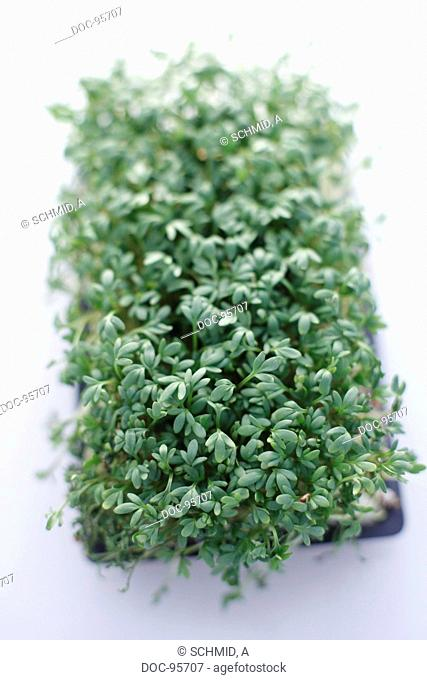 a detail shot of cress on a white background