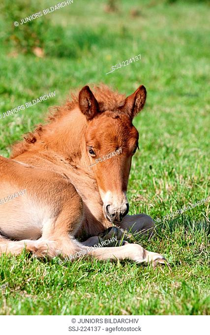 Icelandic Horse. Chestnut foal lying on a pasture. Germany
