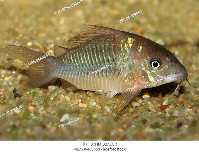 emerald catfish, Brochis splendens, the East of Peru, aquarium fish