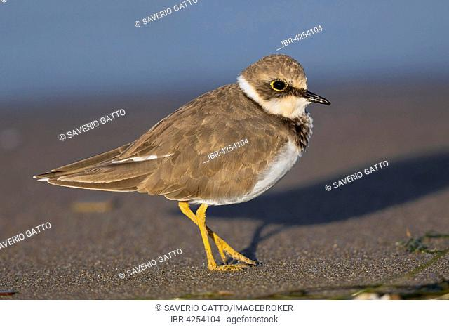 Little Ringed Plover (Charadrius dubius), fledgling on the beach, Campania, Italy