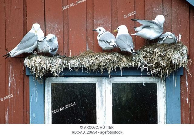 Black-legged Kittiwakes with youngs in nests over window Lofotes Norway Rissa tridactyla