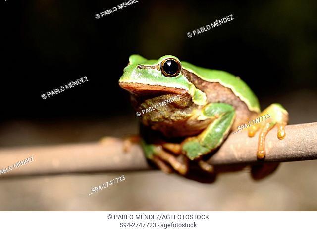 Common treefrog (Hyla molleri) on a branch in Valdemanco, Madrid, Spain