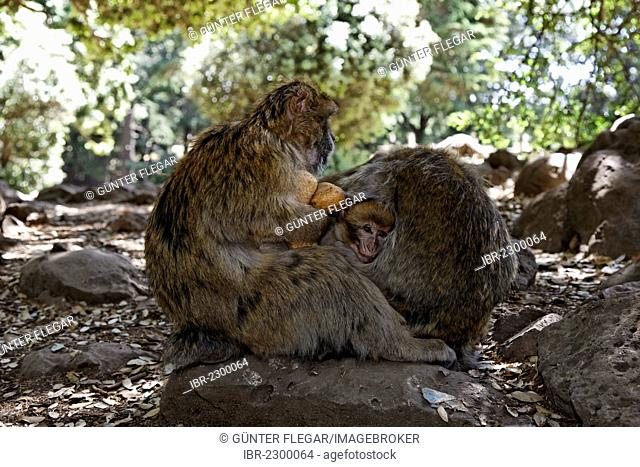 Young Barbary Macaque (Macaca sylvanus) huddling between his parents at the national park near Ifrane, Meknès-Tafilalet, Morocco, North Africa, Maghreb, Africa