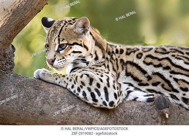 Ocelot close-up (Leopardus pardalis) Pantanal, Brazil