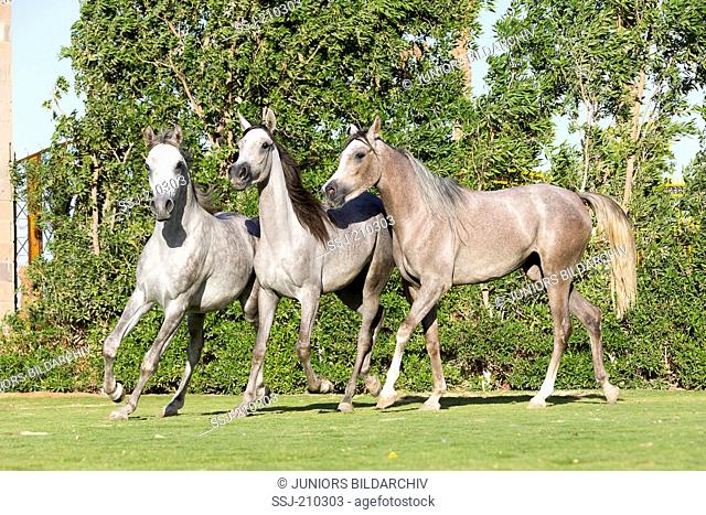 Arabian Horse. Three young mares trotting on a lawn. Egypt