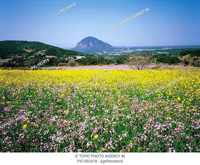 Rape flowers,Jeju Island,Korea